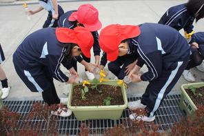 キャベツの苗を植えました