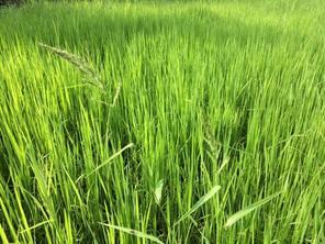 雑草ものびる水田