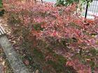 深まる秋~赤く色づく葉