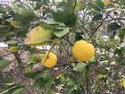 柑橘類の色づき
