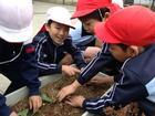 キャベツの苗植え