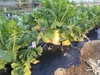 教材園の根菜類