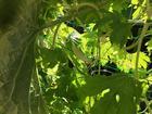 緑のカーテン~ニガウリ