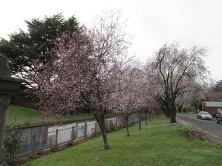 ダニーデンからの便り~桜満開