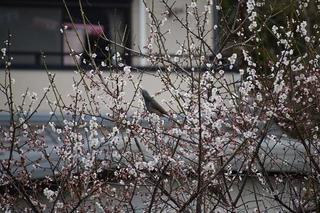 梅に集まる鳥