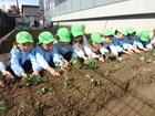 年長組 いちごの苗植え、冬野菜の観察