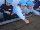 年中組 えんどう豆・水菜の種まき
