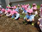 年長組 サツマイモの苗植え