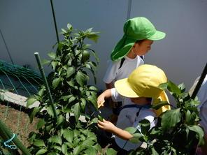 夏期預かり保育~野菜の収穫~