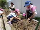 年少組 ミニトマトの苗植え