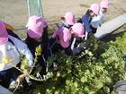 年少組 大根の収穫