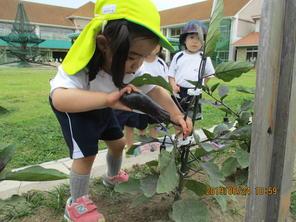 野菜の収穫(年少組)